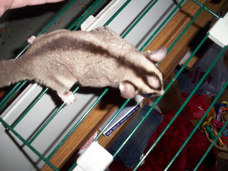 how to keep sugar glider cage from stinking