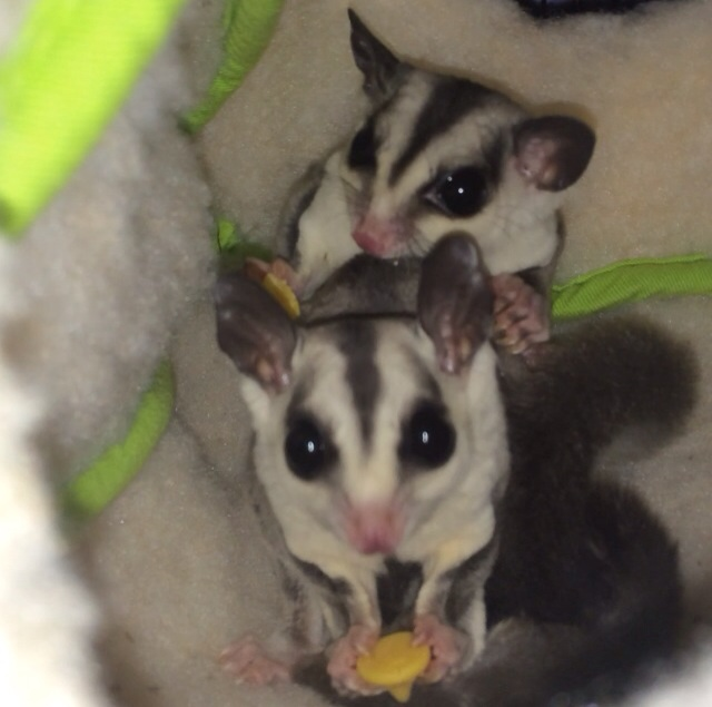 How Long Do Sugar Gliders Live? - Lifespan Of A Sugarglider