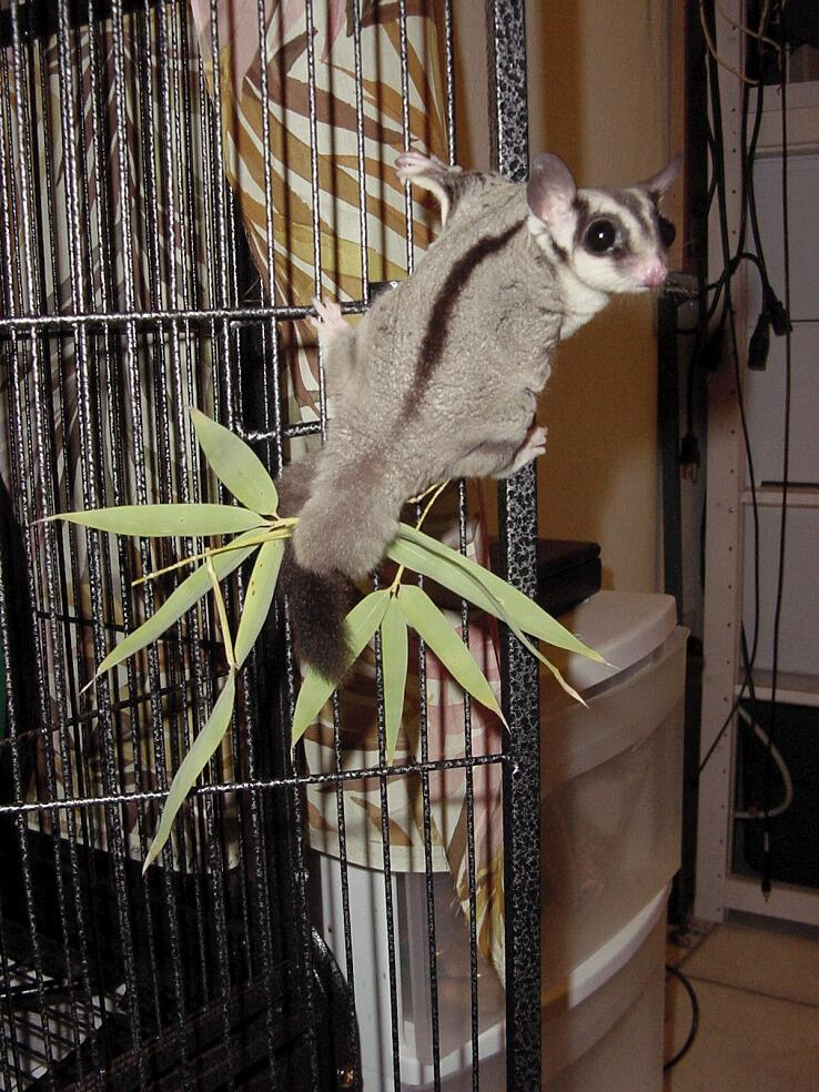 Gliders For Sale >> Sugarglider.com - Gliderpedia - Question/How long is a ...