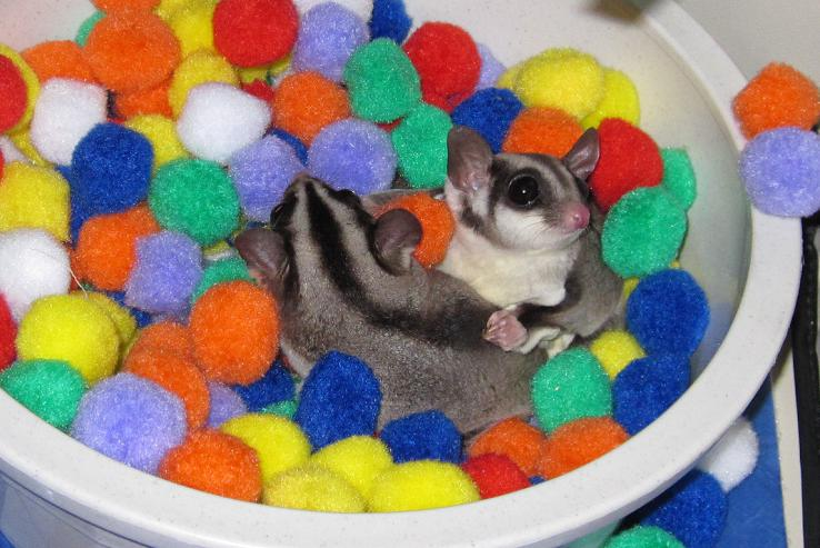 Toys For Sugar : Sugarglider gliderpedia question what kind of toys