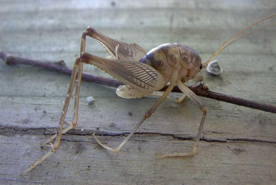 Glidergossip Wingless Crickets