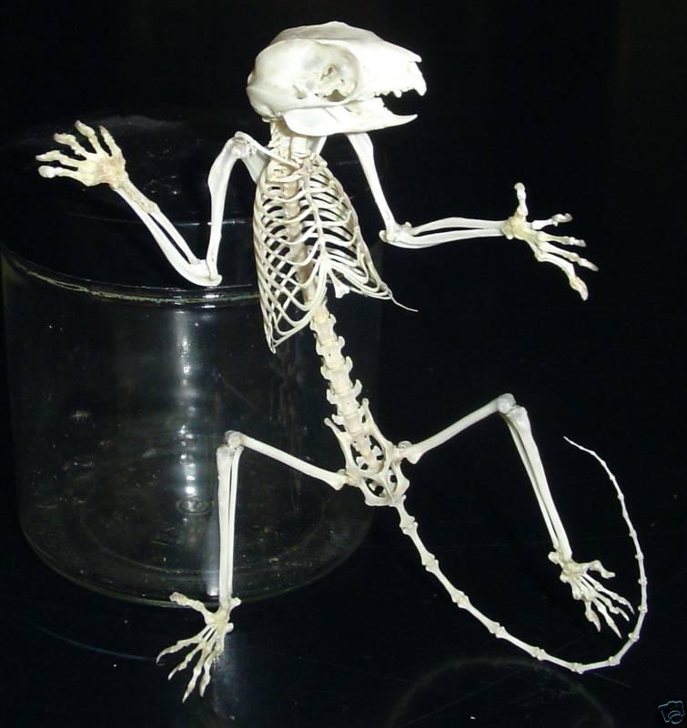 Sugarglider Com Gliderpedia Skeleton